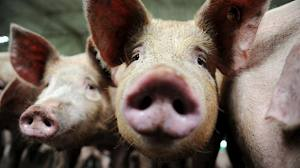 Pigs6